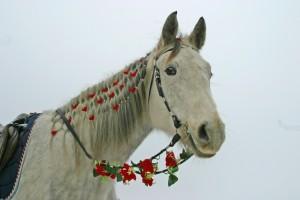 zirgu noma kāzām